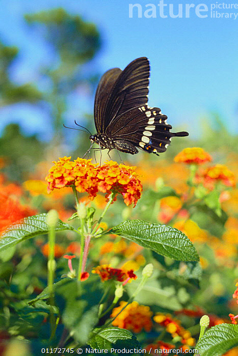 Common Mormon butterfly {Papilio polytes polytes} sucking nectar from Common Lantana flowers, Okinawa, Japan, ASIA,BEHAVIOUR,FEEDING,FLOWERS,INSECTS,INVERTEBRATES,JAPAN,LEPIDOPTERA,SWALLOWTAIL BUTTERFLIES,VERTICAL, Nature Production