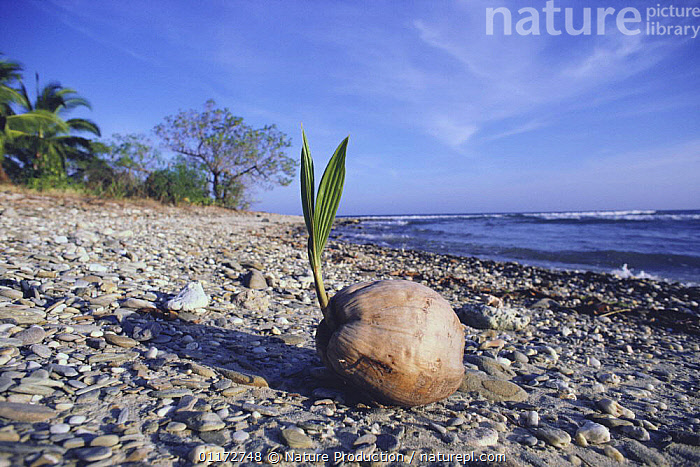 Coconut palm nut {Cocos nucifera} germinating on beach after being washed ashore, ARECACEAE,BEACHES,BUDS,COASTS,DISPERSAL,DISTRIBUTION,GROWTH,LANDSCAPES,MONOCOTYLEDONS,PALMS,PLANTS,Concepts, Nature Production