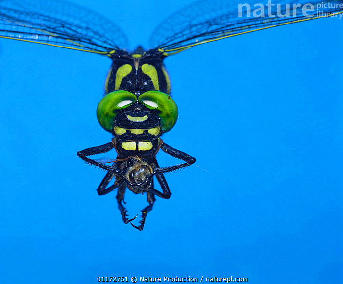 Giant Spiketail / Great Dragonfly {Anotogaster sieboldii} carrying bee prey while flying, Japan, ASIA,BEES,BEHAVIOUR,DRAGONFLIES,EYES,GREAT DRAGONFLY,HYMENOPTERA,INSECTS,INVERTEBRATES,JAPAN,ODONATA,PORTRAITS,PREDATION, Nature Production