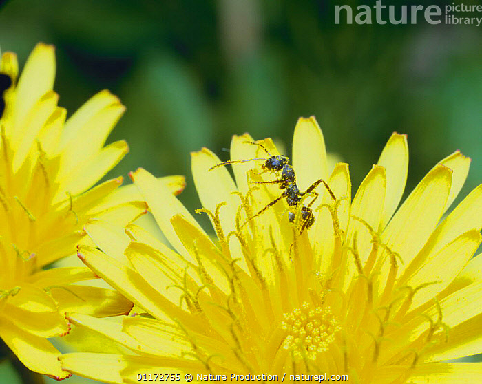 Japanese Wood Ant {Formica japonica} dusted with pollen from flower, Shiga, Japan, ANTS,ASIA,BEHAVIOUR,FLOWERS,HYMENOPTERA,INSECTS,INVERTEBRATES,JAPAN,POLLINATION,YELLOW, Nature Production