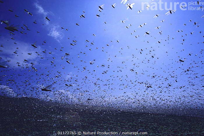 Migratory Locust {Locusta migratoria} infestation, flying in a swarm, Kagoshima, Japan, ASIA,FLYING,GRASSHOPPERS,GROUPS,INSECTS,INVERTEBRATES,JAPAN,LOCUSTS,ORTHOPTERA,PESTS,SHORT HORNED GRASSHOPPERS, Nature Production
