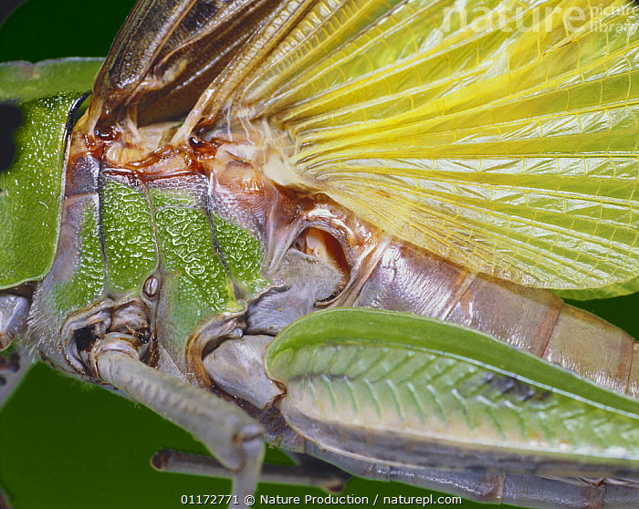 Close up of drum membrane of Migratory Locust ear {Locusta migratoria} Japan, CLOSE UPS,EARS,GRASSHOPPERS,HEARING,INSECTS,INVERTEBRATES,ORTHOPTERA,SHORT HORNED GRASSHOPPERS, Nature Production