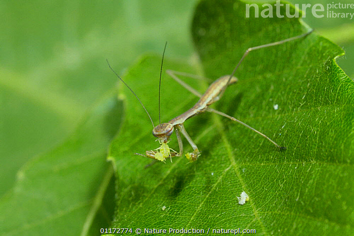 Chinese Mantid {Tenodera aridifolia} larva eating Aphid, Japan  ,  APHIDS,ARTHROPODS,ASIA,FEEDING,INSECTS,INVERTEBRATES,JAPAN,MANTIDS,MANTODEA,PREDATION,Behaviour  ,  Nature Production