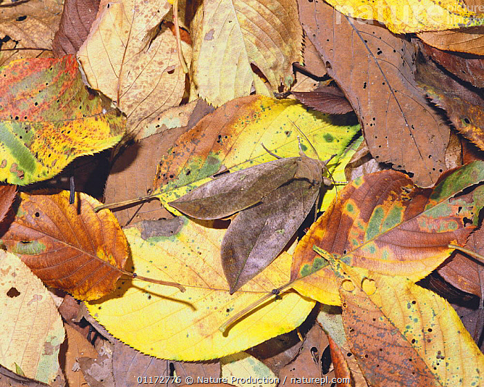 Moth {Adris tyrannus} camouflaged amongst fallen leaves, Japan, ASIA,CAMOUFLAGE,INSECTS,INVERTEBRATES,JAPAN,LEPIDOPTERA,MOTHS, Nature Production