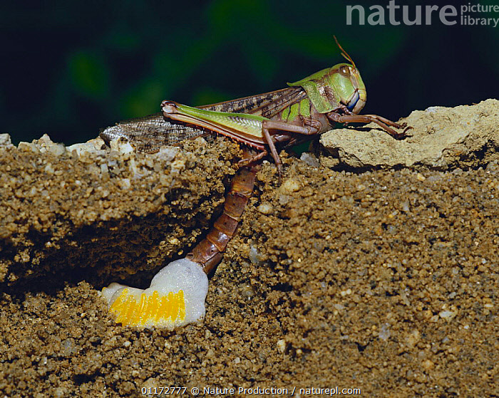 Migratory Locust {Locusta migratoria} laying eggs under the ground (cross-section), Japan, EGG LAYING,EGGS,GRASSHOPPERS,INSECTS,INVERTEBRATES,ORTHOPTERA,PESTS,REPRODUCTION,SHORT HORNED GRASSHOPPERS, Nature Production