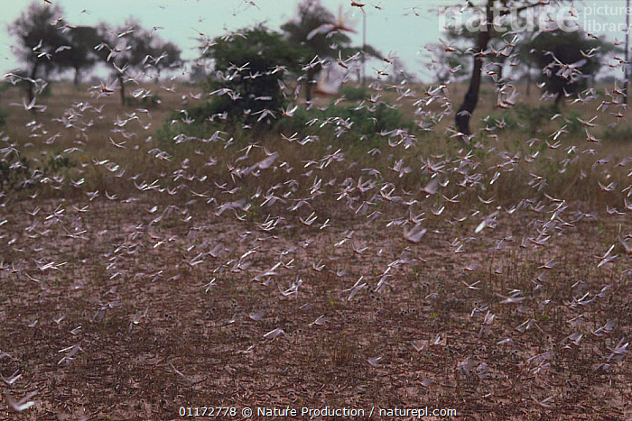 African Migratory Locusts {Locusta migratoria} flying in a swarm, Senegal, West Africa, FLYING,GRASSHOPPERS,GROUPS,INSECTS,INVERTEBRATES,LOCUST,MASS,ORTHOPTERA,PESTS,SHORT HORNED GRASSHOPPERS,WEST AFRICA,Africa, Nature Production