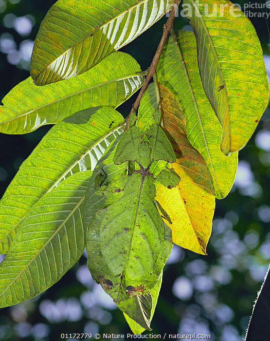 Leaf Insect {Phyllium pulchrifolium} camouflaged as leaf, Malaysia, ASIA,CAMOUFLAGE,INSECTS,INVERTEBRATES,LEAVES,PHASMIDA,PHASMIDS,VERTICAL, Nature Production