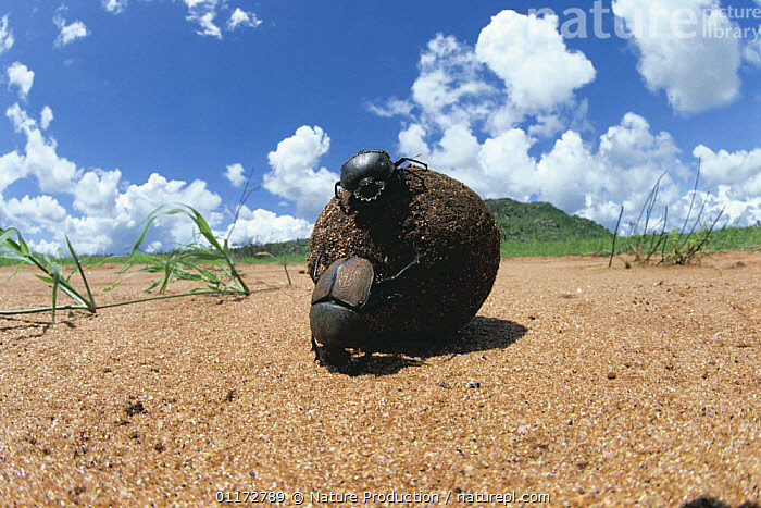 Pair of Dung beetles {Kheper playnotus} rolling a brooding dung ball, male pushing, female riding on top of the ball, Kenya, BEHAVIOUR,COLEOPTERA,EAST AFRICA,FAECES,INSECTS,INVERTEBRATES,MALE FEMALE PAIR,SCARAB BEETLES,Africa, Nature Production
