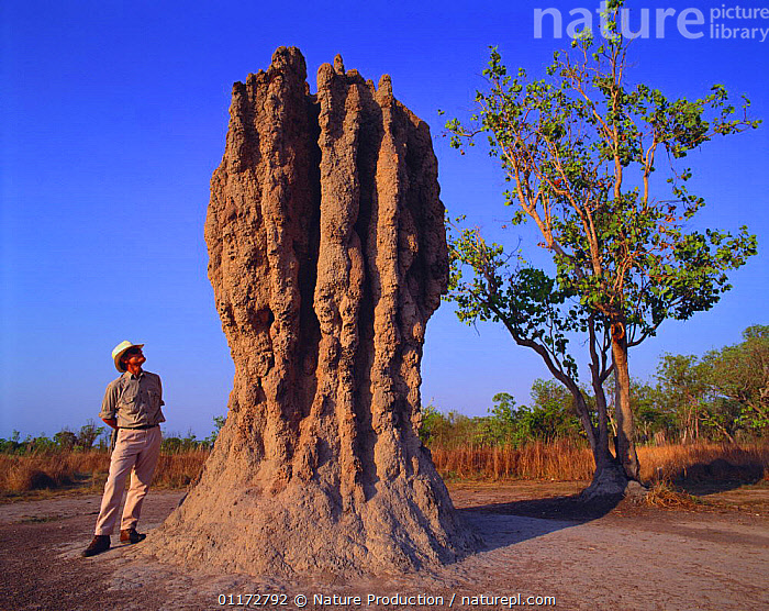 Man standing beside termite mound, Australia, ARTHROPODS,AUSTRALIA,INSECTS,INVERTEBRATES,ISOPTERA,LANDSCAPES,LARGE,NESTS,PEOPLE,SIZE,TALL,TERMITES, Nature Production