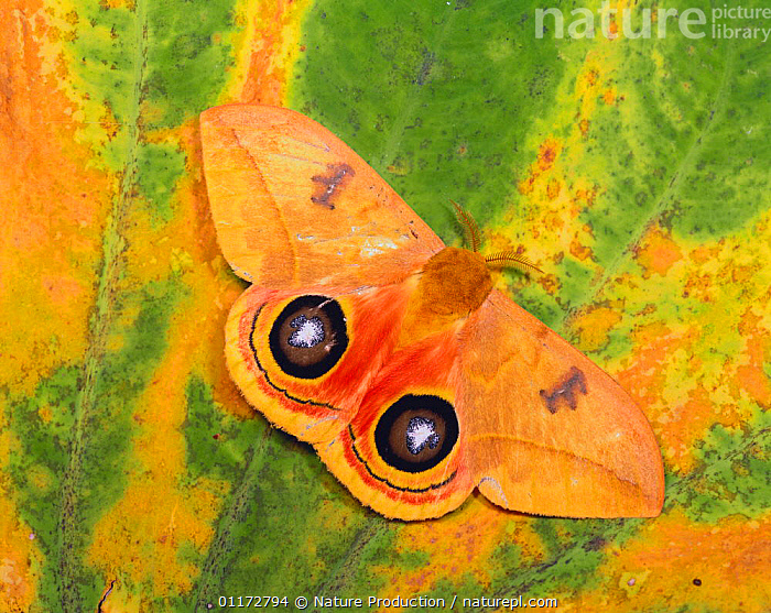 Moon moth {Automeris sp} display showing eyespots on its underwings, Costa Rica, central america, COLOURFUL, costa rica, DEFENSIVE, EMPEROR-MOTHS, EYES, INSECTS, INVERTEBRATES, LEPIDOPTERA, MOTHS, ORANGE,Behaviour, Nature Production
