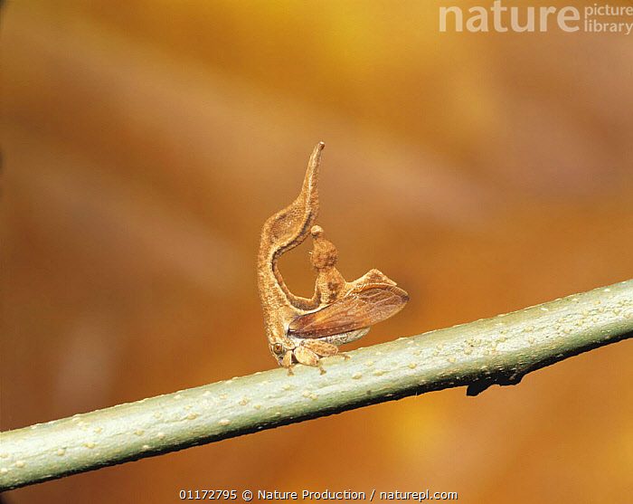 Treehopper {Membracidae} Brazil, BRAZIL,BUGS,CRYPTIC,HEMIPTERA,INSECTS,INVERTEBRATES,SOUTH AMERICA,TREEHOPPERS,WEIRD, Nature Production