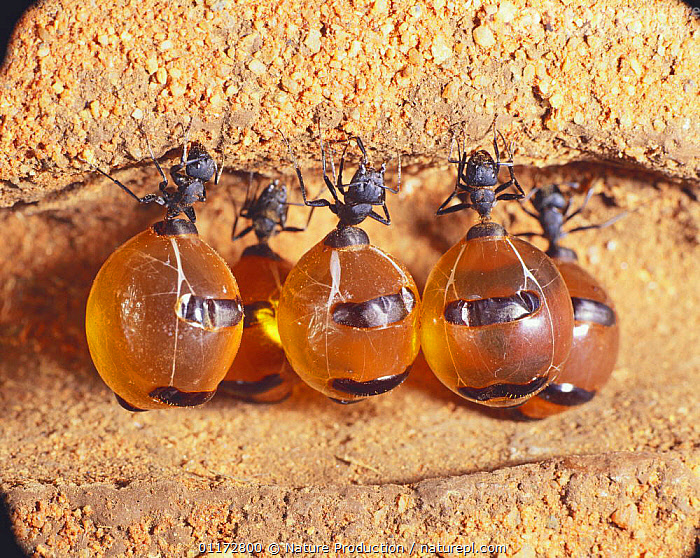 Honeypot Ants storing honey in their abdomen {Myrmecocystus sp} Australia, ANT,ARTHROPODS,AUSTRALIA,BEHAVIOUR,GROUPS,HONEY ANTS,HYMENOPTERA,INSECTS,INVERTEBRATES, Nature Production