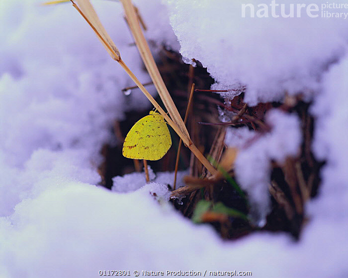 Common Grass Yellow butterfly {Eurema hecabe} over winteringi in snow, Shiga, Japan, BUTTERFLIES,HIBERNATION,INSECTS,INVERTEBRATES,JAPAN,LEPIDOPTERA,SNOW,WINTER,Asia,Plants, Nature Production