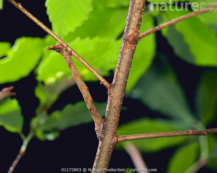 Looper moth larva {Geometridae} simulating a branch, Shiga, Japan, ASIA,CAMOUFLAGE,CATERPILLAR,INCHWORM,INSECTS,INVERTEBRATES,JAPAN,LARVAE,LEPIDOPTERA,LOOPER MOTHS,MOTHS, Nature Production