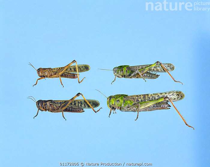 Migratory Locust {Locusta migratoria} gregarious phase (brownish, left) solitary phase (green, right), male on top and female on bottom, Japan, CUTOUT,FOUR,GRASSHOPPERS,GROUPS,INSECTS,INVERTEBRATES,JAPAN,MALE FEMALE PAIR,ORTHOPTERA,PESTS,SHORT HORNED GRASSHOPPERS,Asia, Nature Production
