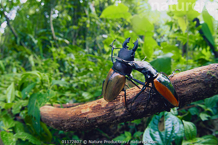 Parryi Stag Beetle {Hexarthrius parryi} and Stag beetle {Odontolabis wallastonii} fighting, Malaysia, AGGRESSION,BEHAVIOUR,COLEOPTERA,HORNS,INSECTS,INVERTEBRATES,MIXED SPECIES,STAG BEETLES,Concepts, Nature Production
