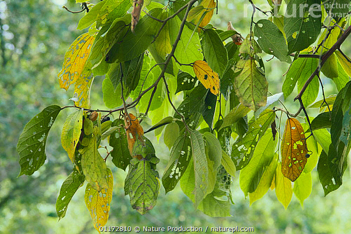 Three Leaf Insects {Phyllium sp} camouflage amongst tree leaves, Malaysia, ASIA,CAMOUFLAGE,GREEN,INSECTS,INVERTEBRATES,LEAF INSECT,MALAYSIA,PHASMIDA,PHASMIDS, Nature Production