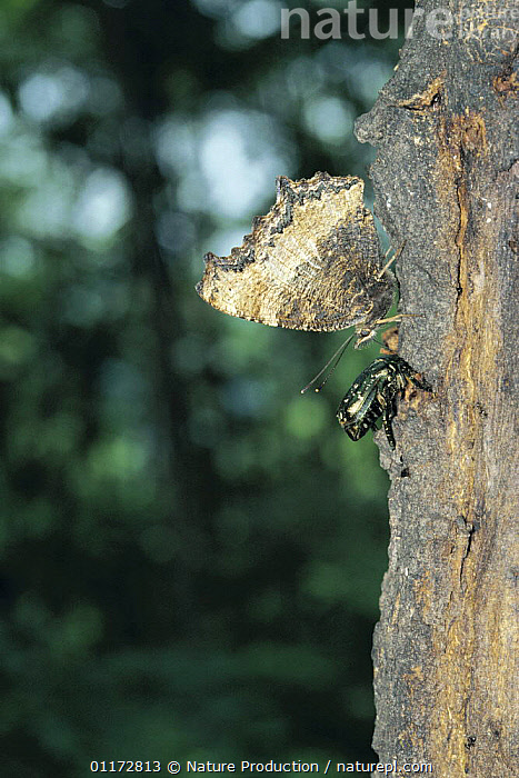 Yellow-legged Tortoiseshell butterfly {Nymphalis xanthomelas japonica} excretion sequence 1/2, Shiga, Japan, with beetle alongside., ASIA, BEETLES, BUTTERFLIES, COLEOPTERA, INSECTS, INVERTEBRATES, JAPAN, LEPIDOPTERA, mixed species, TRUNKS, VERTICAL, Nature Production