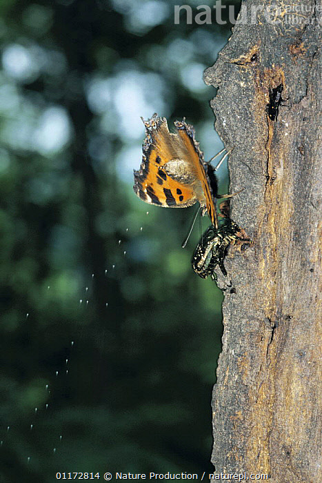 Yellow-legged Tortoiseshell butterfly {Nymphalis xanthomelas japonica} excretion sequence 2/2, Shiga, Japan, with beetle alongside., ASIA, BEHAVIOUR, BUTTERFLIES, INSECTS, INVERTEBRATES, JAPAN, LEPIDOPTERA, mixed species, TRUNKS, VERTICAL, Nature Production