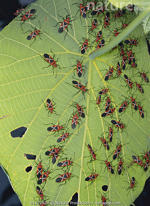 Swarm of Cotton Stainer bugs {Dysdercus philippinus} on leaf of Parasol Leaf Tree, Okinawa, Japan, ASIA,BUG,GROUPS,HEMIPTERA,INSECTS,INVERTEBRATES,JAPAN,LEAVES,STAINER BUGS, Nature Production