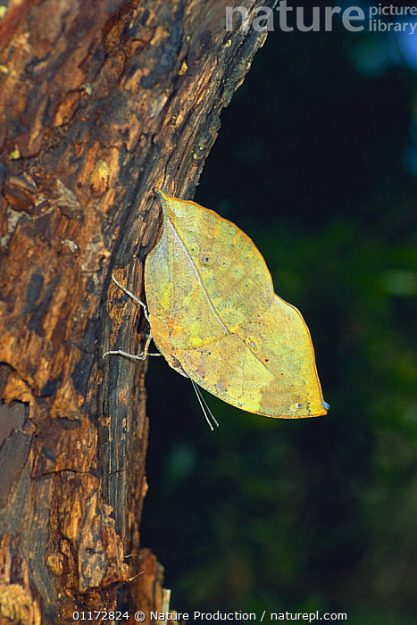 Dead Leaf Butterfly {Kallima inachus eucerca}  flapping its wing, sequence 1/2, Okinawa, Japan, ARTHROPODS, ASIA, BEHAVIOUR, BUTTERFLIES, DEFENSIVE, DISPLAY, INSECTS, INVERTEBRATES, JAPAN, LEPIDOPTERA, VERTICAL, WINGS,Communication, Nature Production
