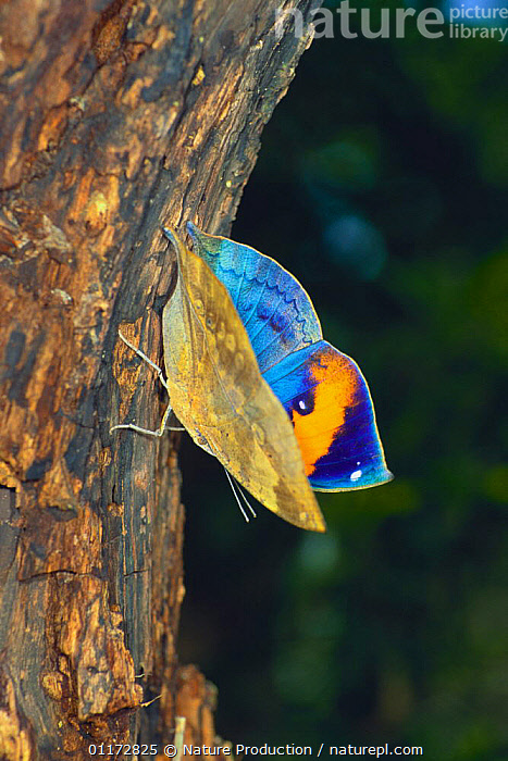 Dead Leaf Butterfly {Kallima inachus eucerca}  flapping its wing, sequence 2/2, Okinawa, Japan, ARTHROPODS, ASIA, BEHAVIOUR, BLUE, BUTTERFLIES, COLOURFUL, DISPLAY, INSECTS, INVERTEBRATES, JAPAN, LEPIDOPTERA, VERTICAL,Communication, Nature Production