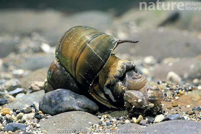 Chinese mystery snail {Cipangopaludina chinensis malleata} laying eggs, Japan, ASIA,GASTROPODS,INVERTEBRATES,JAPAN,MOLLUSCS,REPRODUCTION,SNAILS, Nature Production