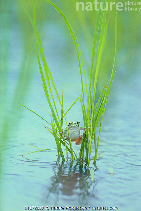 Japanese Tree Frog {Hyla japonica} clinging to rice leaves 'doing the splits', Japan, AMPHIBIANS,ANURA,ASIA,CROPS,FROGS,HUMOROUS,JAPAN,SPLITS,TREE FROGS,VERTEBRATES,VERTICAL,WATER,Concepts, Nature Production
