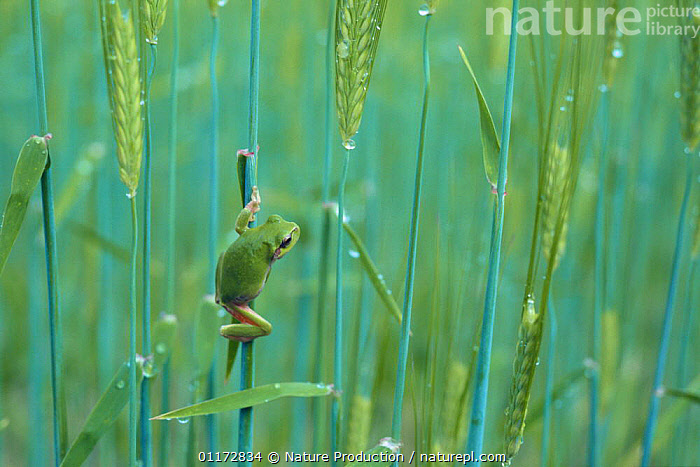 Japanese Tree Frog {Hyla japonica} clinging to stalks of oat, Japan, AMPHIBIANS,ANURA,ASIA,CAMOUFLAGE,CEREALS,CLIMBING,CROPS,FROGS,GREEN,JAPAN,OATS,PLANTS,TREE FROGS,VERTEBRATES, Nature Production