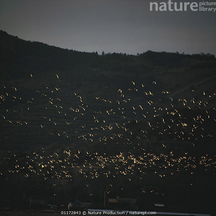 A flock of Duck flying, reflecting the light at sunset, Japan, ARTY,ASIA,BIRDS,DUCKS,FLOCKS,FLYING,GROUPS,JAPAN,VERTEBRATES,WATERFOWL,Wildfowl, waterfowl, Nature Production