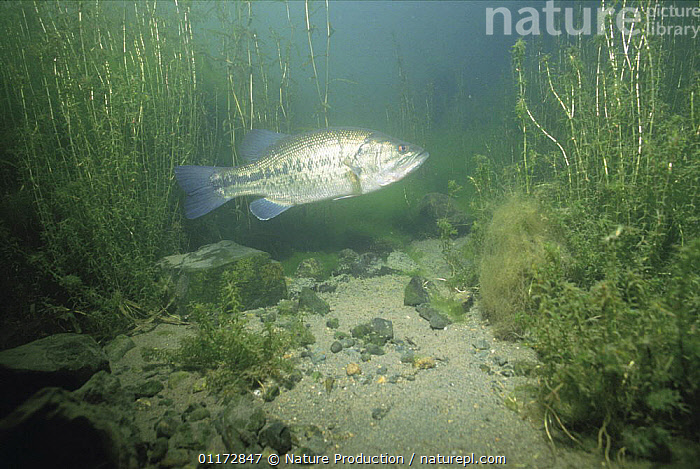 Black / Large mouthed Bass {Micropterus salmoides} protecting eggs,, FISH,FRESHWATER,LARGEMOUTH,OSTEICHTHYES,SUNFISH,TEMPERATE,UNDERWATER,VERTEBRATES, Nature Production