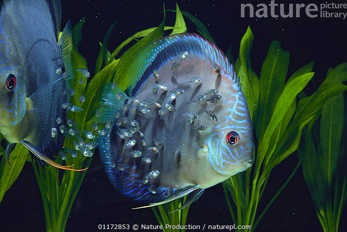 Brown Discus {Symphysodon aequifasciatus axelrodi} juveniles feeding on 'milk' on parent's body, captive, BABIES, BEHAVIOUR, CICHLIDS, FAMILIES, FISH, FRESHWATER, GROUPS, OSTEICHTHYES, TROPICAL, UNDERWATER, VERTEBRATES, Nature Production