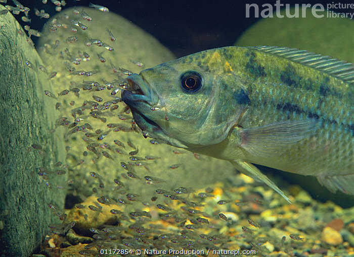 Mozambique Tilapia {Oreochromis mossambicus} raising youngs in its mouth, captive, BABIES,CICHLIDS,FAMILIES,FISH,FRESHWATER,OSTEICHTHYES,PARENTAL BEHAVIOUR,TROPICAL,UNDERWATER,SOUTHERN AFRICA, Nature Production