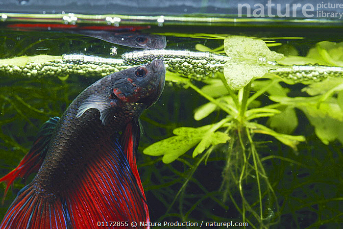 Siamese Fighting Fish {Betta splendens} making a foam nest of bubbles to attract female to lay eggs in, captive, BETTAS,FISH,FRESHWATER,MATING BEHAVIOUR,NESTS,OSTEICHTHYES,UNDERWATER,VERTEBRATES,Reproduction,Aggression, Nature Production
