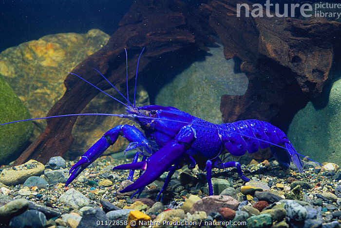 Common / Blue Marron {Cherax cainii / tenuimanus} crayfish, captive, BLUE,COLOURFUL,CRAYFISH,CRUSTACEANS,FRESHWATER,INVERTEBRATES,TEMPERATE,UNDERWATER, Nature Production