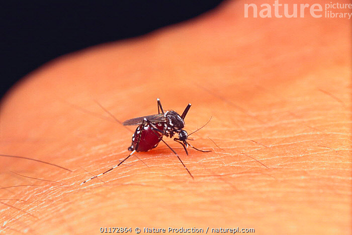 Asian Tiger Mosquito {Aedes albopictus} after sucking blood, Japan, ASIA,DIPTERA,DISEASE,FEEDING,INSECTS,INVERTEBRATES,JAPAN,MOSQUITOES,PESTS, Nature Production