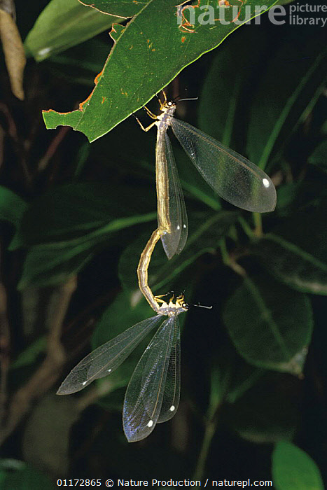 Antlions mating {Hagenomyia micans} Japan, ANTLIONS,ASIA,INSECTS,INVERTEBRATES,JAPAN,MALE FEMALE PAIR,MATING BEHAVIOUR,NEUROPTERA,VERTICAL,Reproduction, Nature Production