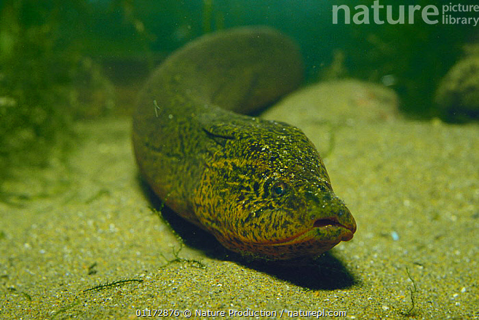 Ricefield / Asian Swamp Eel {Monopterus albus} Japan, ASIA,FISH,FRESHWATER,JAPAN,OSTEICHTHYES,SWAMPS,UNDERWATER,VERTEBRATES,Wetlands, Nature Production