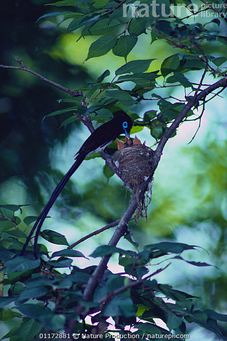 Japanese Paradise Flycatcher {Terpsiphone atrocaudata} male at nest with chicks, Saitama, Japan, ASIA,BIRDS,FAMILIES,FLYCATCHERS,JAPAN,MALES,NESTS,VERTEBRATES,VERTICAL, Nature Production