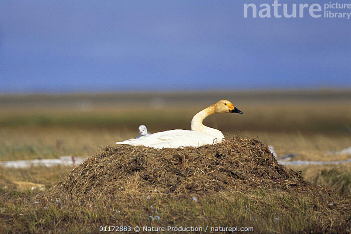 Bewick's Swan / Tundra Swan {Cygnus columbianus bewickii} with chick at nest, Arctic, Russia, BABIES,BIRDS,CHICKS,FAMILIES,HABITAT,NESTS,RUSSIA,SUMMER,SWANS,VERTEBRATES,WATERFOWL,Wildfowl, Waterfowl, Nature Production