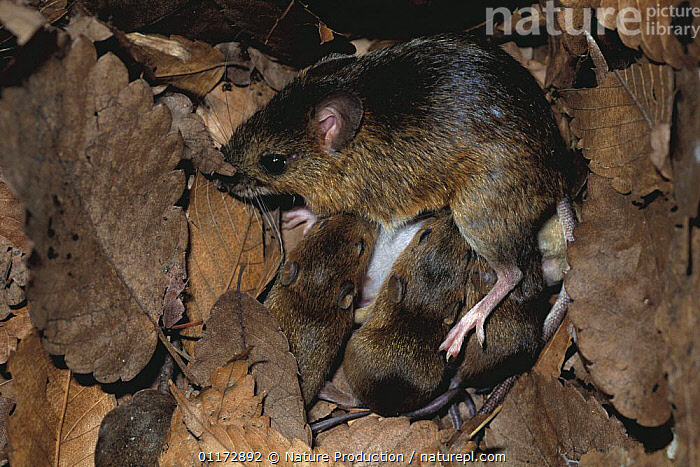 Large Japanese Field Mouse {Apodemus speciosus} parent with babies in nest, Yamanashi, Japan, ASIA,BABIES,FAMILIES,FEEDING,JAPAN,MAMMALS,MICE,RODENTS,VERTEBRATES,Muridae, Nature Production