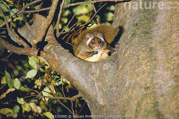 Japanese Giant Flying Squirrel {Petaurista leucogenys} in tree, Yamanashi, Japan, ASIA,FLYING SQUIRRELS,JAPAN,MAMMALS,NIGHT,RODENTS,VERTEBRATES, Nature Production