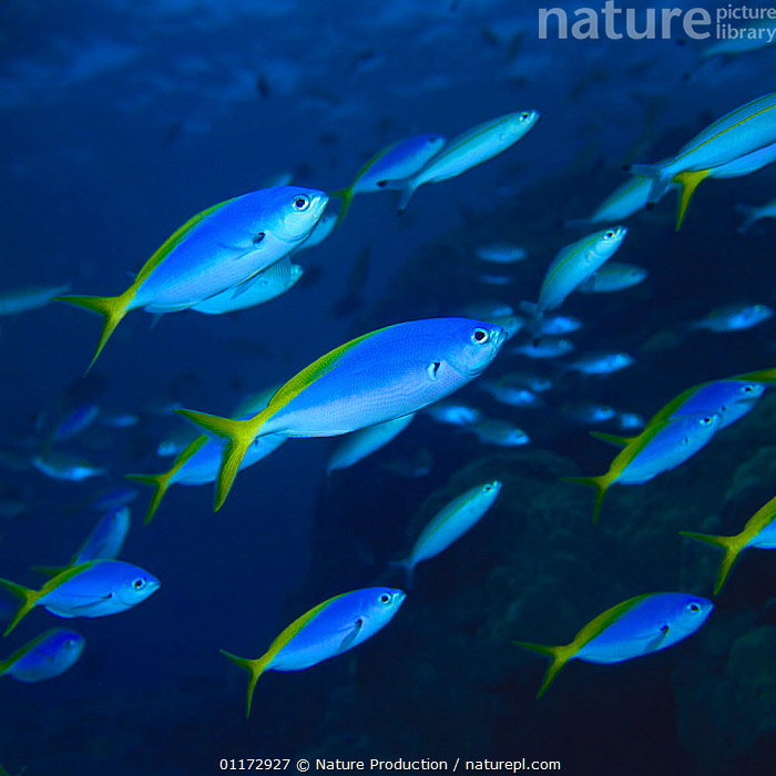 School of Blue and gold Fusiliers {Caesio teres}, FISH,FUSILIERS,GROUPS,MARINE,OSTEICHTHYES,UNDERWATER,VERTEBRATES, Nature Production