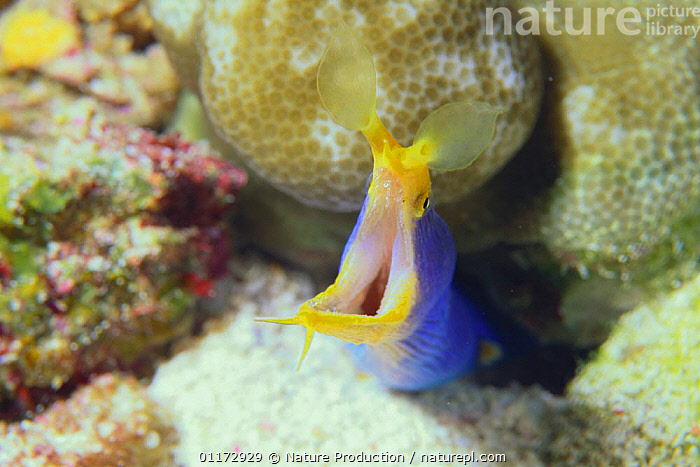 Black Ribbon Eel {Rhinomuraena quaesita} with its mouth open, Okinawa, Japan, CAMOUFLAGE,COLOURFUL,CORAL REEFS,EELS,FISH,MARINE,MOUTHS,OSTEICHTHYES,TROPICAL,UNDERWATER,VERTEBRATES, Nature Production
