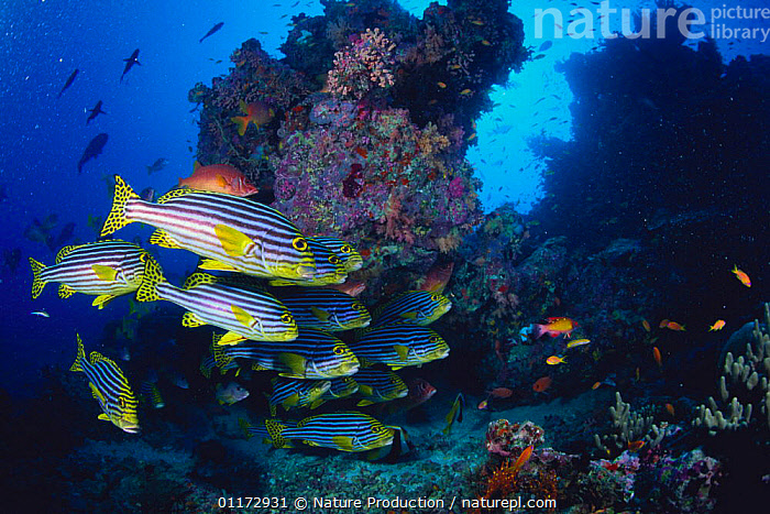 School of Oriental Sweetlips {Plectorhinchus orientalis} Maldives, coral reefs, FISH, GROUPS, MARINE, OSTEICHTHYES, sweetlip, SWEETLIPS, tropica, UNDERWATER, VERTEBRATES, Nature Production