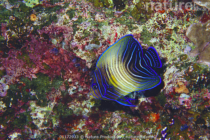 Semicircle Angelfish juvenile {Pomacanthus semicirculatus} Okinawa, Japan, BLUE, FISH, MARINE, OSTEICHTHYES, PACIFIC, TROPICAL, UNDERWATER, VERTEBRATES,Asia, Nature Production