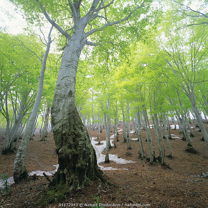 Japanese Beech woodland {Fagus crenata} in spring with melting snow, Niigata, Japan, ASIA,BROADLEAF,JAPAN,LANDSCAPES,SNOW,TREES,WOODLANDS,Plants, Nature Production