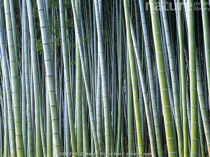 Bamboo {Bambusoideae} stems in woods, Kyoto, Japan, ARTY,ASIA,GRAMINEAE,GRASSES,JAPAN,MONOCOTYLEDONS,PLANTS,POACEAE,TRUNKS, Nature Production