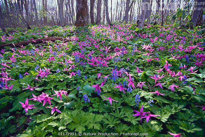 Japanese Dog-tooth Violet {Erythronium japonicum} and Corydalis {Corydalis ambigua} flowering on woodland floor, Hokkaido, Japan, ASIA,FLOWERS,HABITAT,JAPAN,LILACEAE,MIXED SPECIES,MONOCOTYLEDONS,PLANTS,SPRING,WOODLANDS, Nature Production
