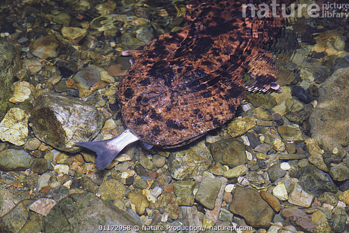 Japanese Giant Salamander {Andrias japonicus}  eating a Big-scaled redfin fish {Tribolodon hakonensis} Japan, AMPHIBIANS,ASIA,BEHAVIOUR,FEEDING,FRESHWATER,HUMOROUS,JAPAN,PREDATION,SALAMANDERS,UNDERWATER,VERTEBRATES,Concepts,Caudata, Nature Production